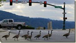 geese crosswalk